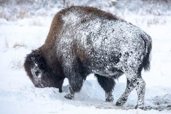 Wood Bison Reintroduced In Southwest Alaska See Another Year Of Loss, But With A Silver Lining