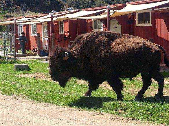 More Bison Join Island Herd